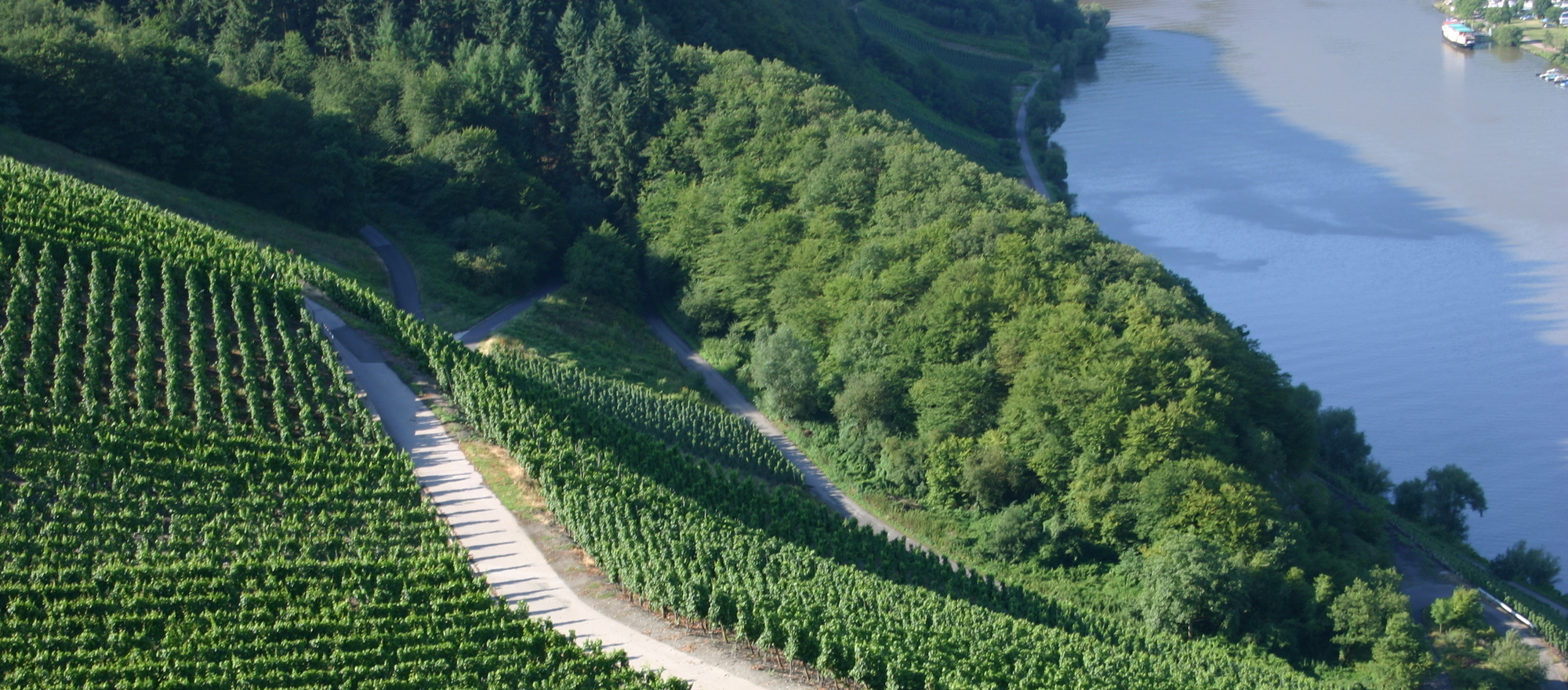 Grapes are grown, at the 3-star-superior hotel Ringhotel Boemers Moselland in Alf/Mosel