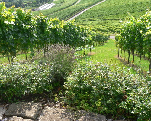 Vineyards at Ringhotel Adler in Asperg/Ludwigsburg, 4-stars-superior hotel in the metropolitan region in Stuttgart
